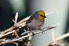 Verdin - Photo (c) Henry T. McLin, some rights reserved (CC BY-NC-ND)