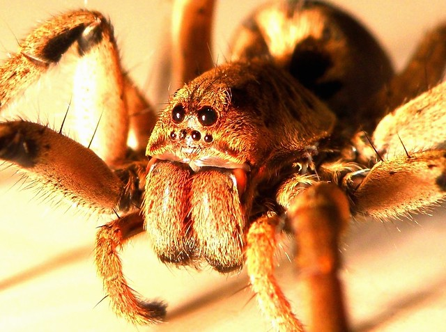 Wolf Spider - skin lesions, parental care, bites and