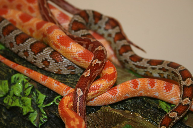 A Pile of Corn Snakes