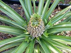 arecales(0.0), agave(0.0), flower(0.0), tree(0.0), agave azul(0.0), produce(0.0), food(0.0), saw palmetto(0.0), plant stem(0.0), bromeliaceae(1.0), leaf(1.0), plant(1.0), flora(1.0),