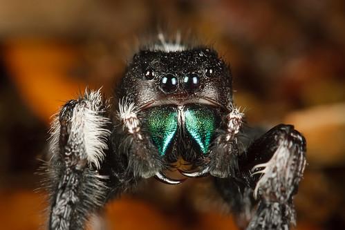 macro insect spider jumping legacy zilkerbotanicalgarden mt24ex mybestphotos canoneos30d canonef100mmf28macrousm excapture macrolife multimegashot motleypixel notyournormalbug royniswanger worldclassnaturephoto thenewselectbest flickrenvythebesttm