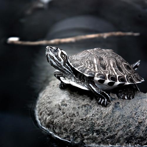 colour animal wales geotagged ir 300d turtle wildlife cardiff infrared modified 18200 false terrapin r72 kood stevecastle geo:lat=51503644 geo:lon=317488