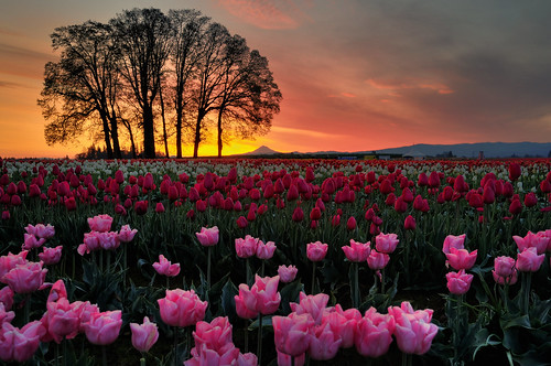 Bright Pink Beautiful Tulips!
