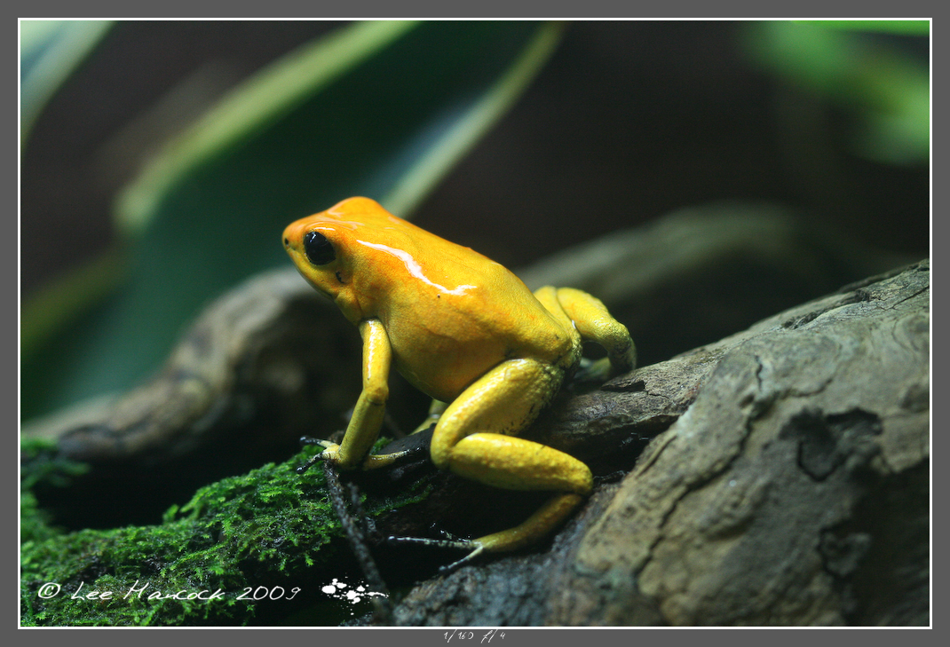 Yellow Phyllobates terribilis by leeinhisroom