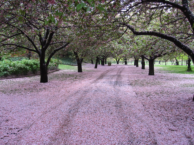 Cherry Walk looks more like Petal Road this morning. See for yourself at Sakura Matsuri (www.bbg.org/sakura2010/) this weekend! Photo by Rebecca Bullene.