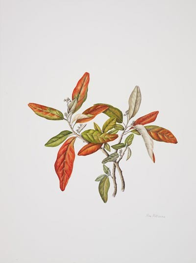 "Rose Pellicano, Croton alabamensis, 2006. Watercolor on Lanaquarelle, hot press, 15"" × 12"". © Copyright Brooklyn Botanic Garden"