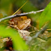 Small photo of Agkistrodon contortrix - Copperhead snake