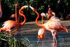 I LOVE YOU! Flamingos during Mating Season