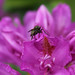 fly on rhododendron