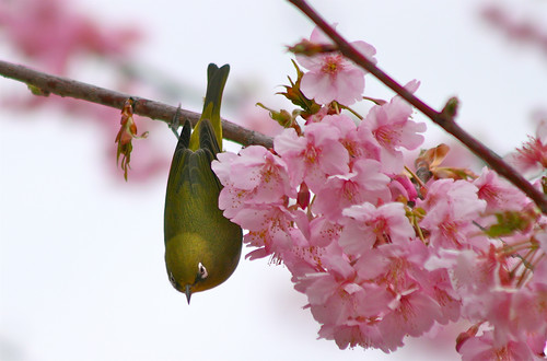 White-Eye & Cherry Blossoms 3