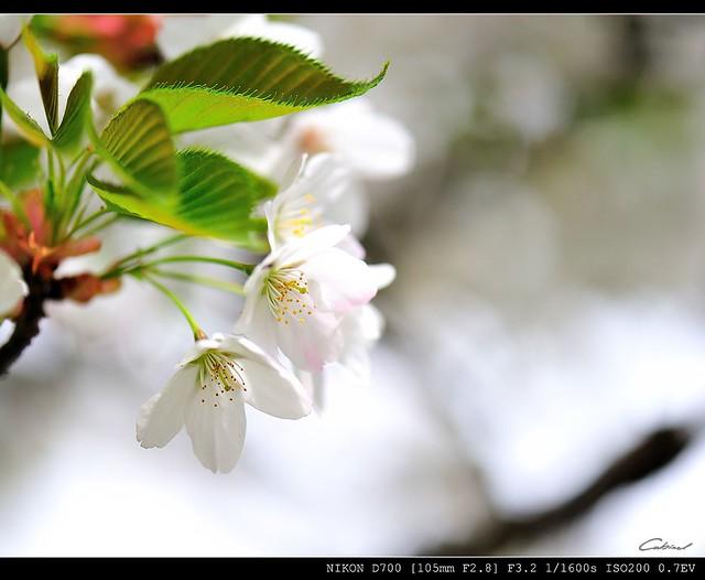 彩泥作品图片樱花步骤