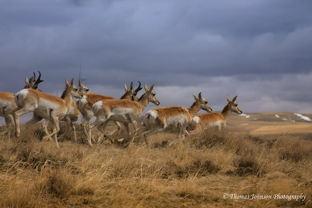 Antelope Running | Flickr - Photo Sharing!
