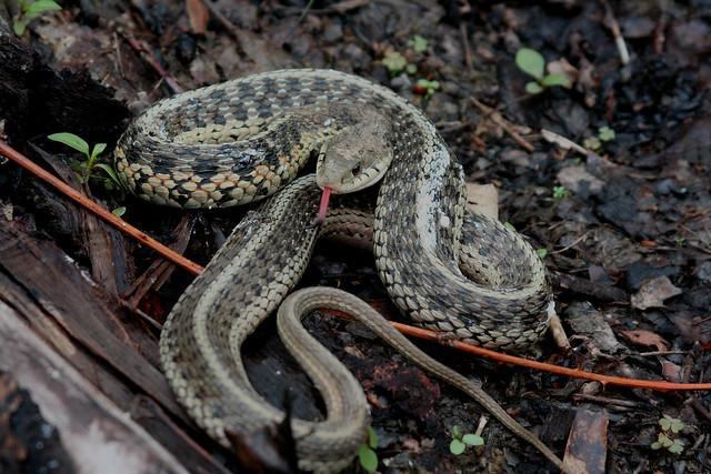 Eastern Garter Snake Thamnophis Sirtalis Flickr Photo