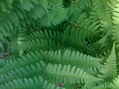 leaf, green, ostrich fern, ferns and horsetails, vegetation,