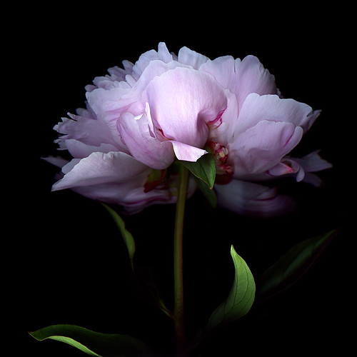 FULL of ADMIRATION for THE PEONY