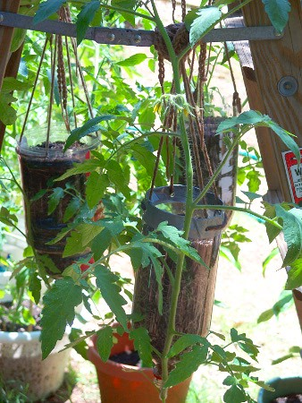 Carmen medlin blog of art and life gardening update and upside down tomatoes in a 2 liter - Upside down gardening ...