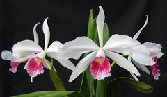 Laelia purpurata (Treasure of Carpinteria x Carnea 'Bion')