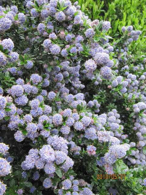 ceanothus 39 blue mound 39 flickr photo sharing. Black Bedroom Furniture Sets. Home Design Ideas