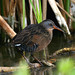 Virginia Rail - Photo (c) Blake Matheson, some rights reserved (CC BY-NC)