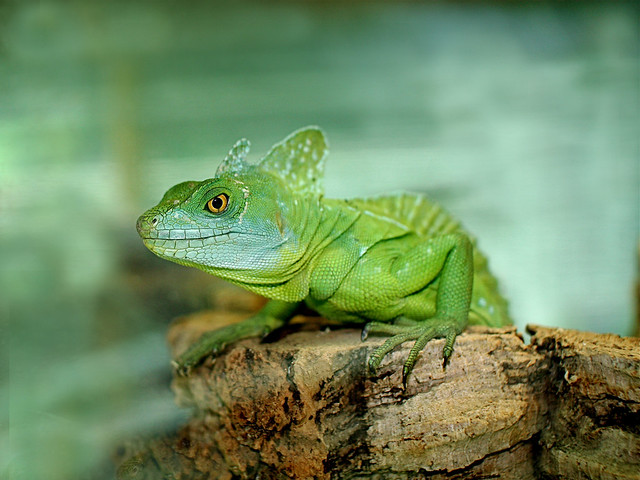 Green Basilisk Lizard* | Flickr - Photo Sharing!