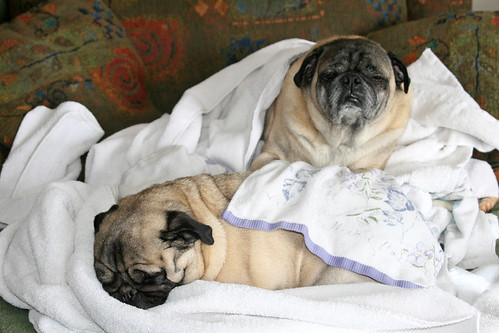 Pugs helping with laundry