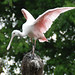 Roseate Spoonbill - Photo (c) Carol Foil, some rights reserved (CC BY-NC-ND)