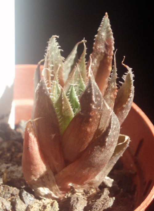 Aloe aristata 3452192146_6e2bf412d1_o