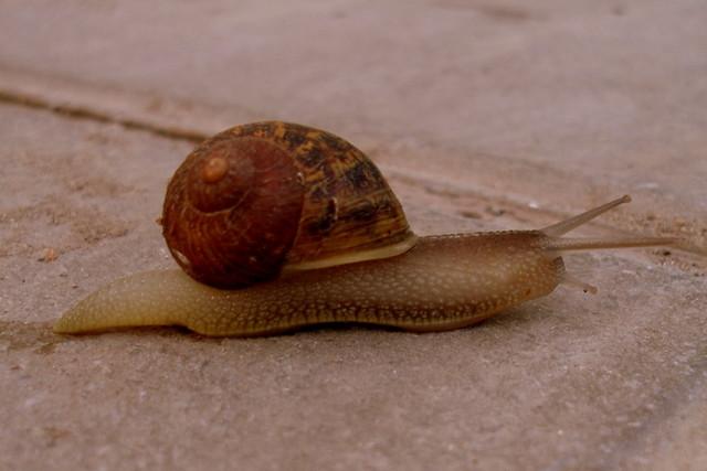 Helix aspersa caracol com n de jard n en velocidad for Caracol de jardin