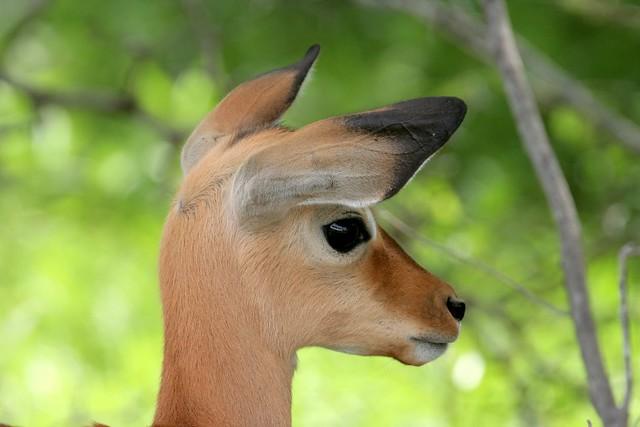 Impala lamb listening portrait