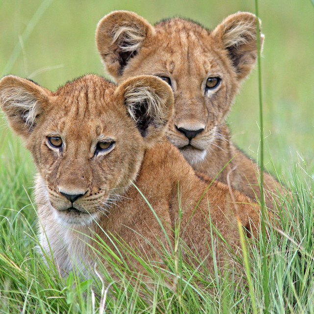lion cubs (Panthera leo)