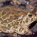 Great Plains Toad - Photo (c) tom spinker, some rights reserved (CC BY-NC-ND)