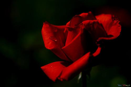 red usa flower rose garden us redrose idaho boise rosegarden juliadavis juliadavisrosegarden