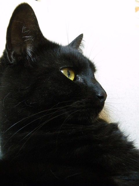 Black Cat With Yellow Eyes Breed | www.imgkid.com - The ...