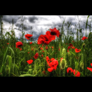 Poppies & Clouds