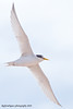 Gaviota Chica Sternula antillarum Least Tern by rafyrodriguezphotography