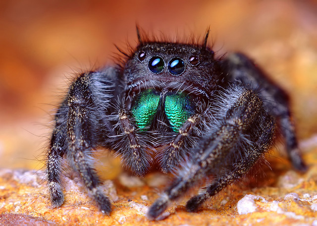 Adult Female Phidippus audax Jumping Spider (With Video)