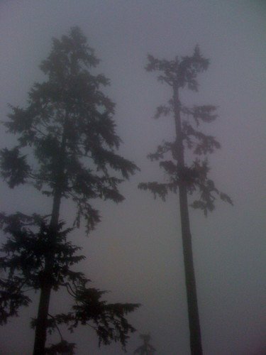 Cedars & Fog