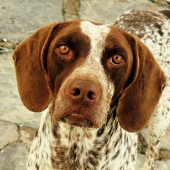 field spaniel(0.0), drentse patrijshond(0.0), setter(0.0), braque d'auvergne(0.0), german wirehaired pointer(0.0), french spaniel(0.0), dog breed(1.0), animal(1.0), harrier(1.0), dog(1.0), welsh springer spaniel(1.0), treeing walker coonhound(1.0), english foxhound(1.0), american foxhound(1.0), pet(1.0), old danish pointer(1.0), braque francais(1.0), brittany(1.0), pointer(1.0), pachon navarro(1.0), english coonhound(1.0), german shorthaired pointer(1.0), hunting dog(1.0), carnivoran(1.0), coonhound(1.0),