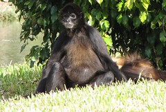 chimpanzee(0.0), western gorilla(0.0), great ape(0.0), gorilla(0.0), ape(0.0), animal(1.0), monkey(1.0), mammal(1.0), fauna(1.0), common chimpanzee(1.0), old world monkey(1.0), new world monkey(1.0), wildlife(1.0),