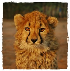 animal, big cats, cheetah, lion, mammal, fauna,