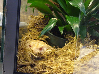 Dr. Sampson the Hutt - Albino Woodhouse Toad