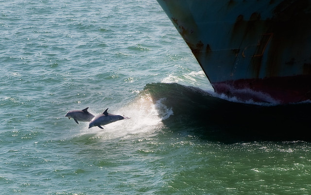 Dolphins and Bow Wave