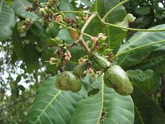 shrub(0.0), hardy kiwi(0.0), red mulberry(0.0), plant(0.0), produce(0.0), food(0.0), coccoloba uvifera(0.0), mulberry(0.0), fruit tree(1.0), evergreen(1.0), flower(1.0), leaf(1.0), tree(1.0),