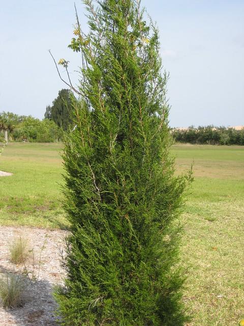 Southern Red Cedar ~ Southern red cedar juniperus virginiana flickr photo