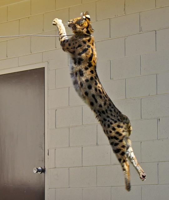 Serval Cat Cost Uk