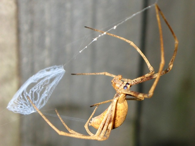 Rufous net-casting spider