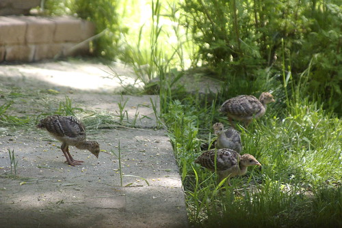 Baby Turkeys by Out at Bob's