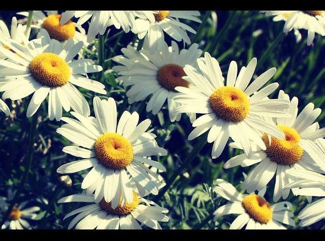 Vintage Daisy | Flickr - Photo Sharing! Vintage Daisy Wallpaper