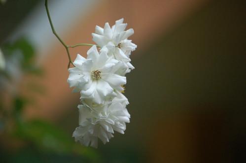Es ist vermutlich keine Blüte vom Kardamom. Hat aber einen doppelten Blütenkranz.