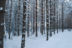 Winter forest, January 2009